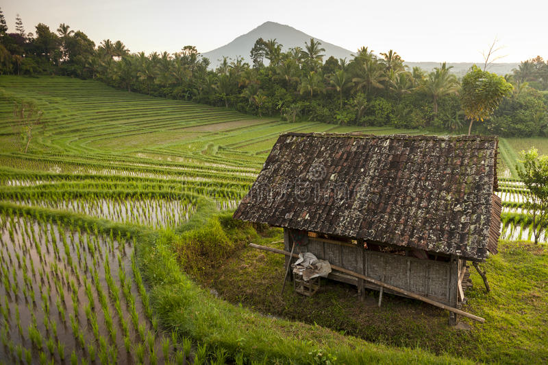 Bali Rice Fields. The village of Belimbing, Bali, boasts some of the most beautiful and dramatic rice terraces in all of Indonesia. Morning light is a wonderful stock photos