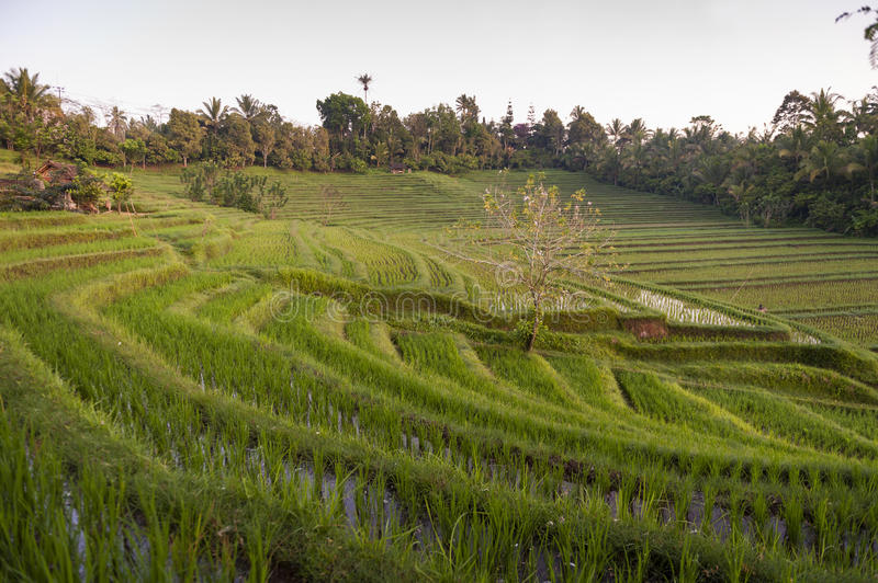 Bali Rice Fields. The village of Belimbing, Bali, boasts some of the most beautiful and dramatic rice terraces in all of Indonesia. Morning light is a wonderful stock photo