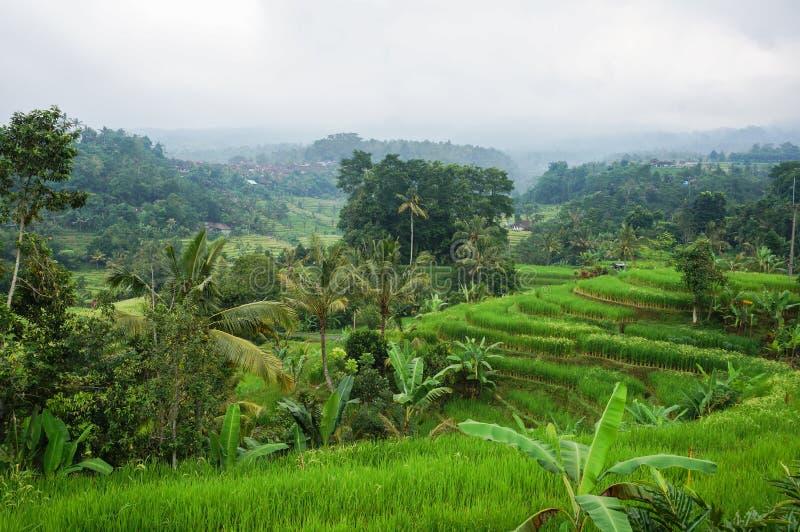 Bali Rice pole zdjęcie stock
