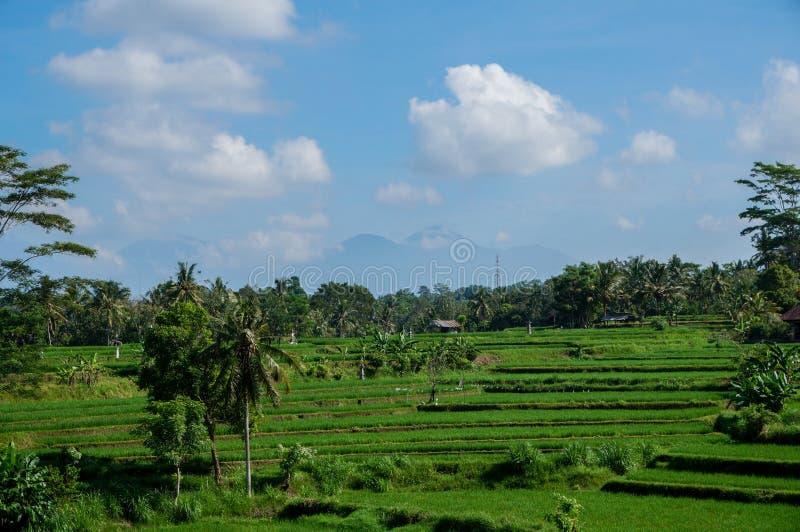 Bali Rice pole zdjęcia stock