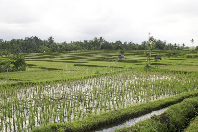 Bali, Ricefield. Ricefield near Ubud, Bali royalty free stock photo