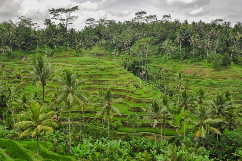 Bali ricefield Indonesië Ubud Bali stock afbeeldingen