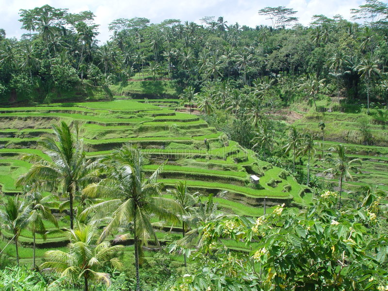 Bali, ricefields image stock