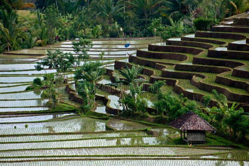 Bali Riceterrasser royaltyfri foto