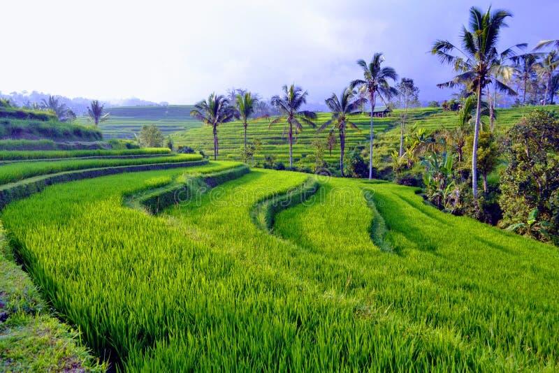 Bali, Rijstaanplanting royalty-vrije stock afbeeldingen