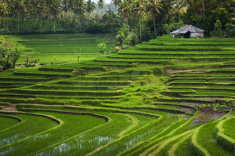 Bali risfält royaltyfria foton