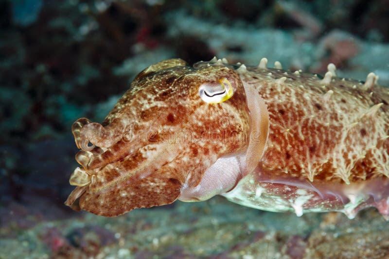 Bali Squid