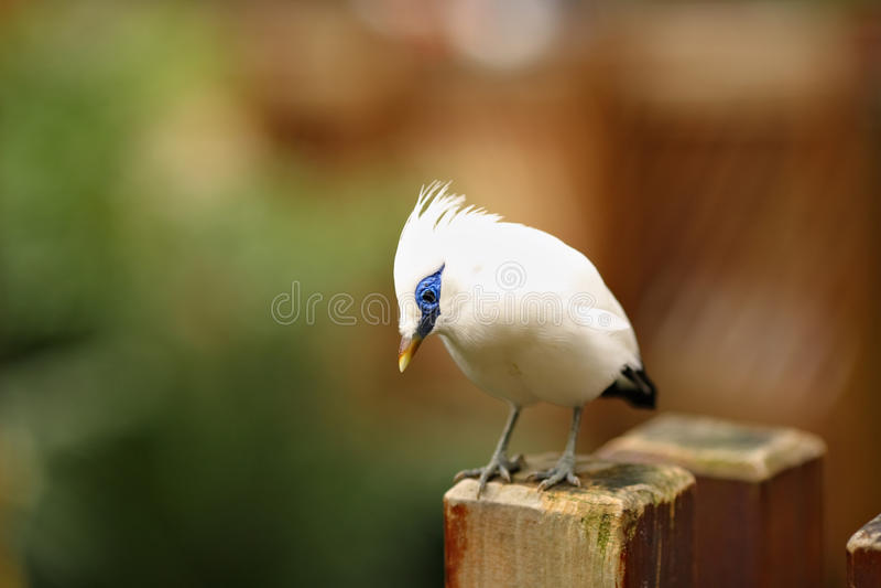 Bali Starling immagine stock libera da diritti
