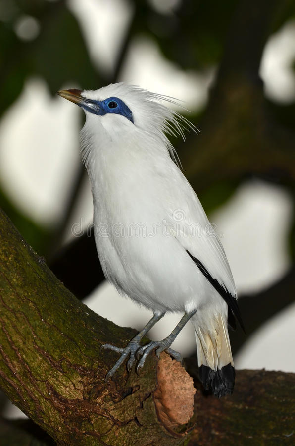 Bali Starling images stock
