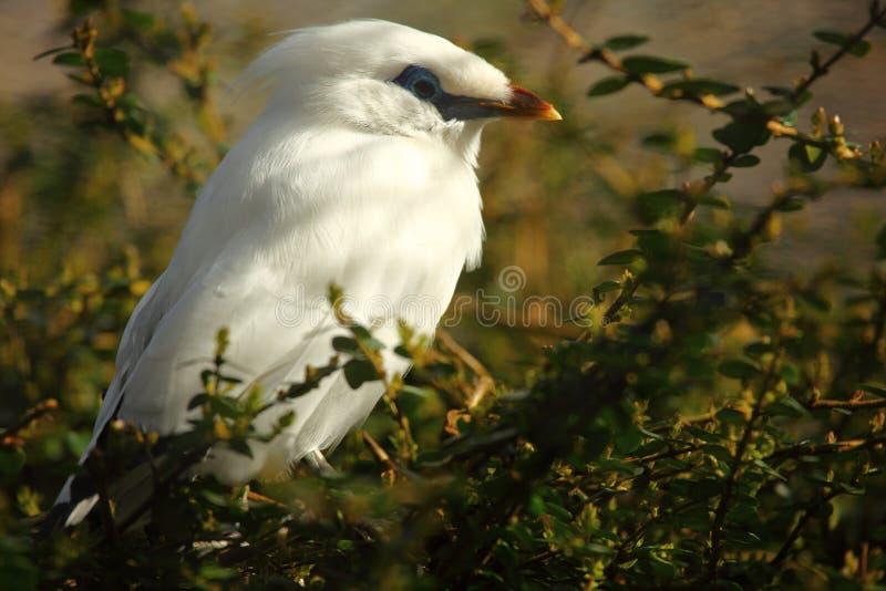 Bali Starling fotografie stock