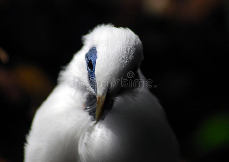 Bali Starling fotografia stock libera da diritti
