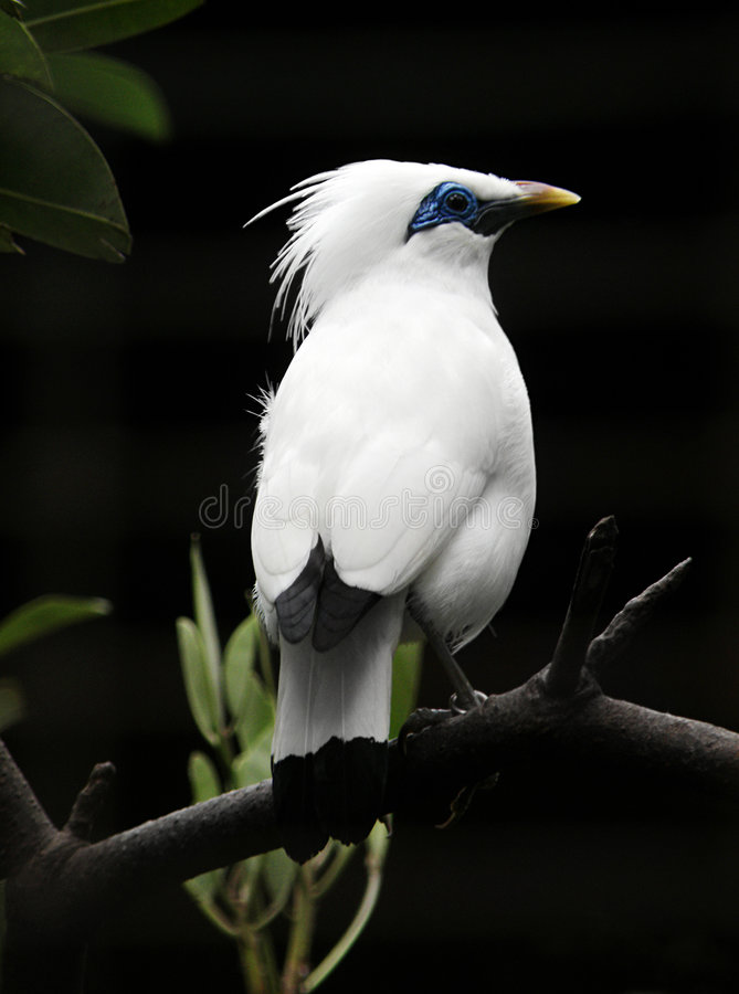 Free Bali Starling Bird Royalty Free Stock Photos - 7787558