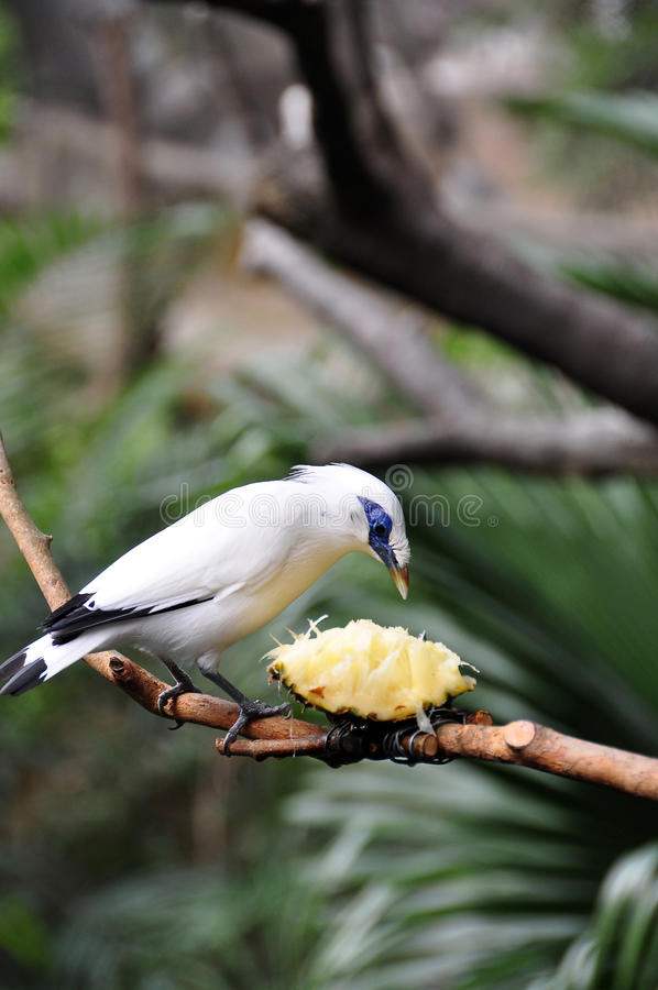 Bali Starling and the pipeapple. Bali Starling eating with the pipeapple royalty free stock images