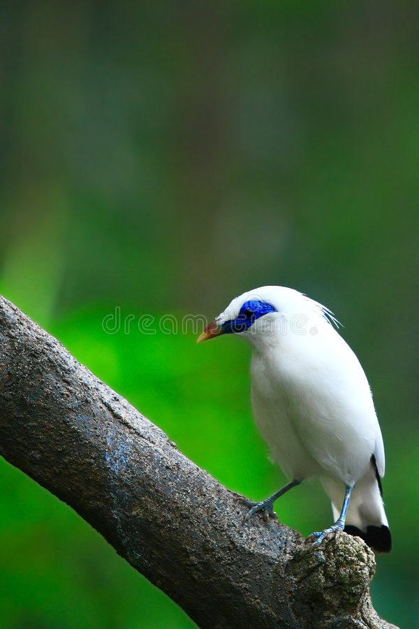Bali Starling on Tree. A Bali Starling still on a tree stock photography