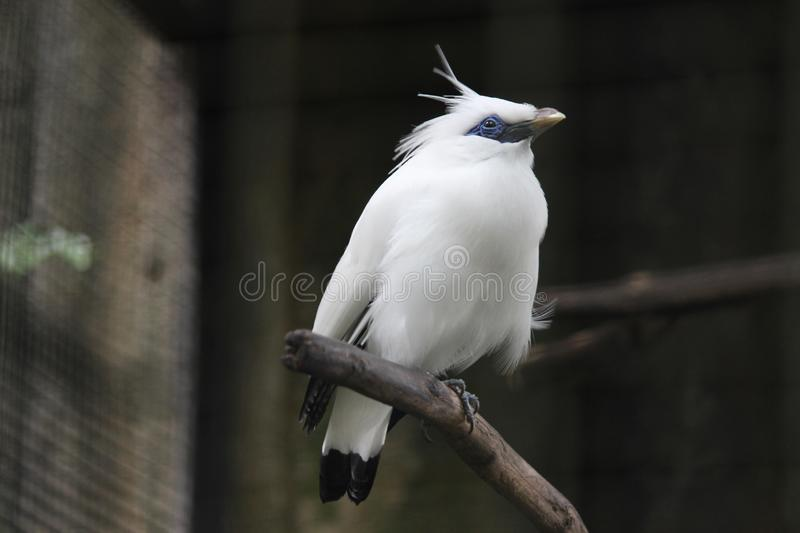 Bali starlings are singing beautifully. On the tree -- outdoors stock photos