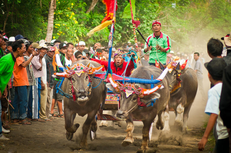 Bali Traditional Cow Race. Photo of traditional buffalo racing events Bali - Indonesia, Routine held every year in Jembrana District, Bali royalty free stock photos