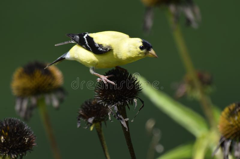 Be careful, don't fall off The coneflower! royalty free stock image