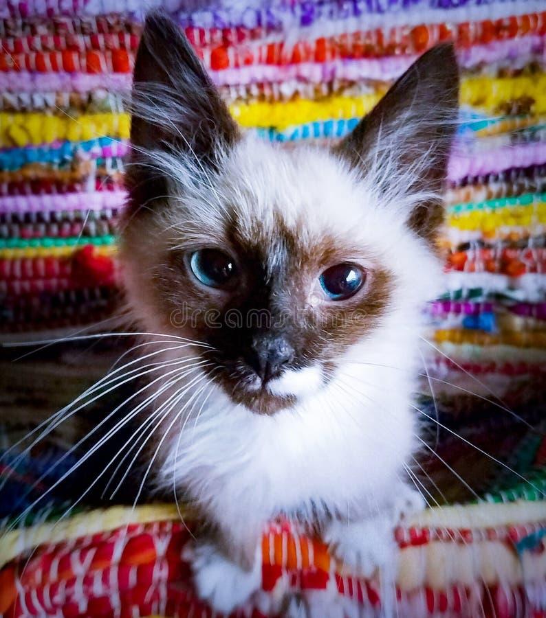 Balinese di 4 mesi Kitten Closeup di birmano fotografia stock