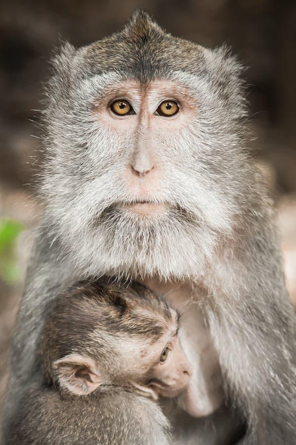 Balinese macague albert die Fütterung ihres Babys an den heiligen Affe-Vorderteilen herum stockbilder