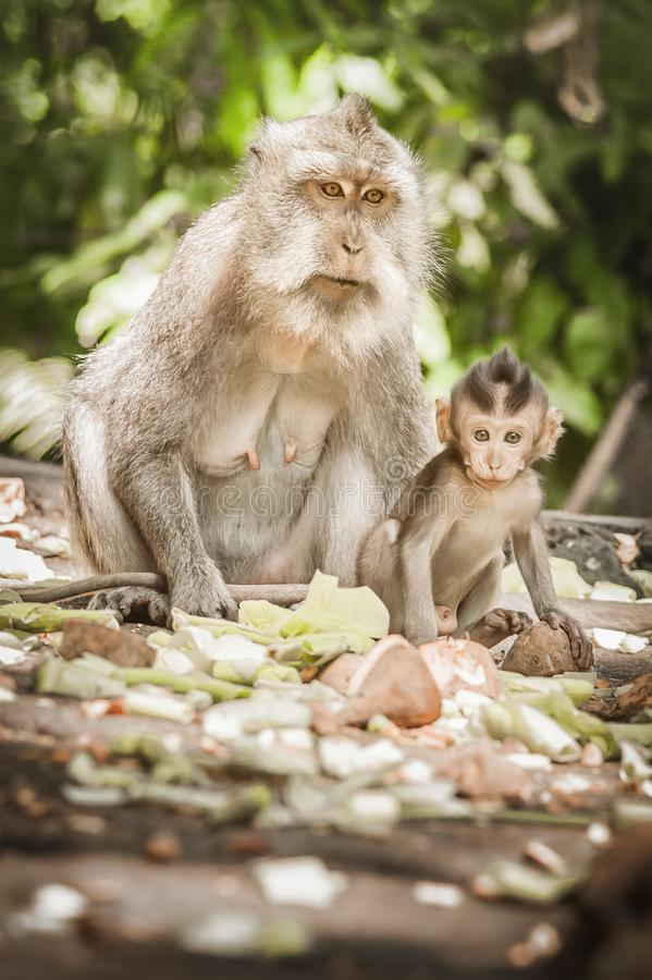 Balinese macague monkeys with her baby at Sacred Monkey Forest stock images