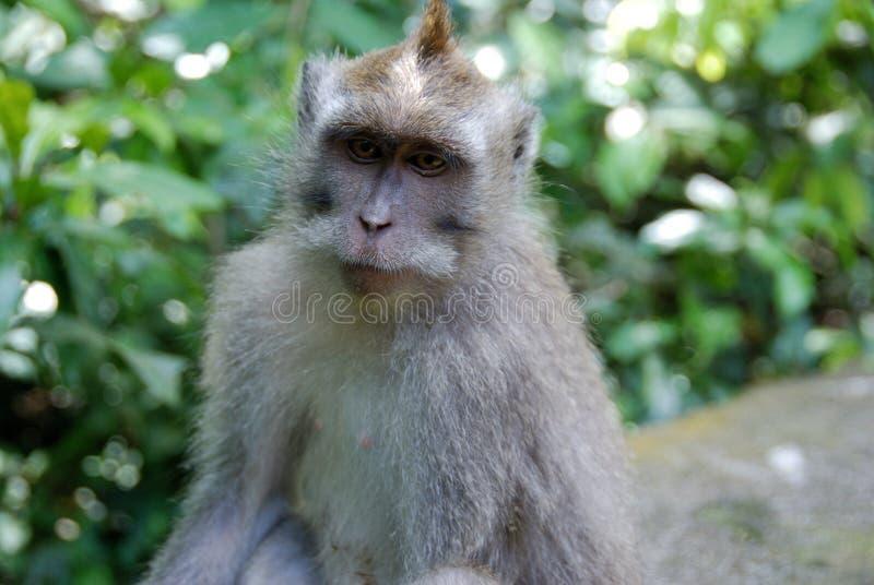Gray haired Monkey stock photo. Image of monkey, forest ...