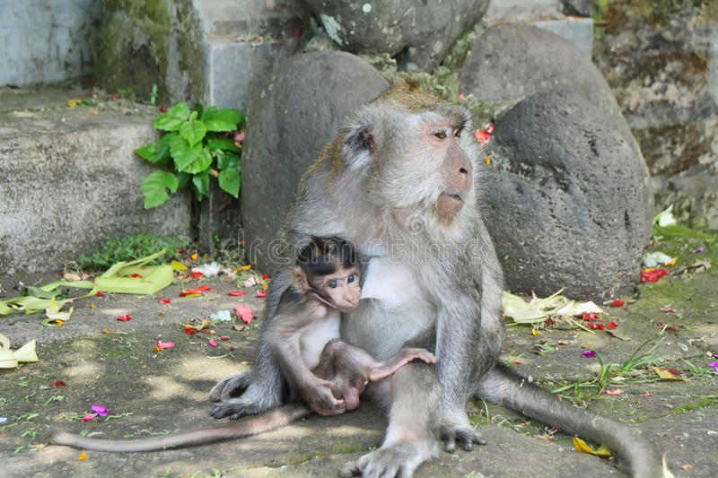 Balinese monkey with her baby stock image
