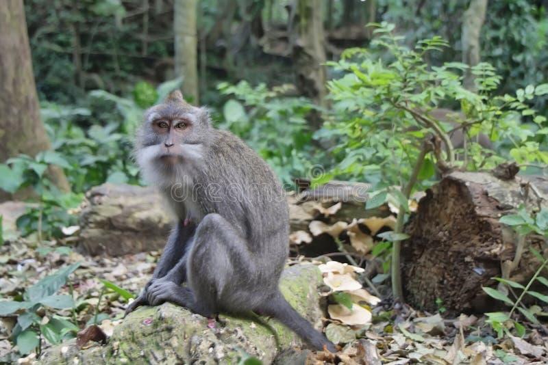 Balinese monkey in Ubud stock images