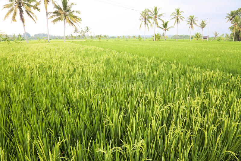 Download Balinese Paddy Field, Indonesia Stock Photo - Image: 14376968