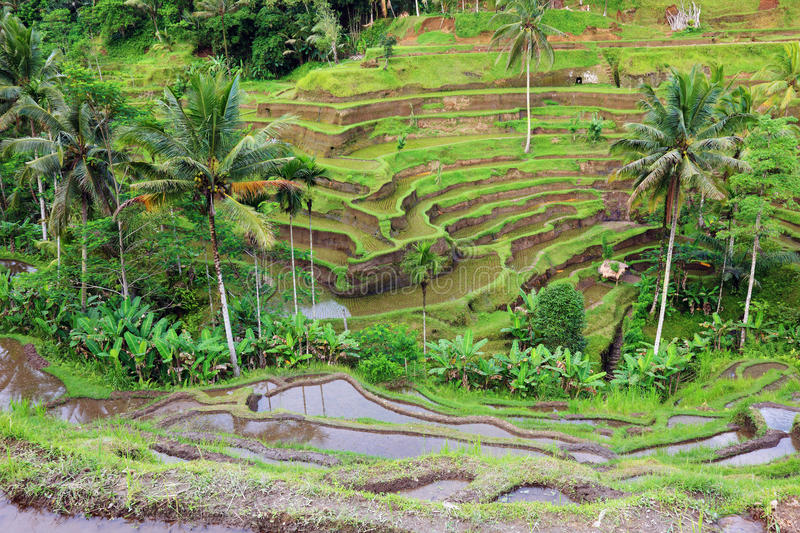 Green rice field landscape Asia travel Bali Cambodia Vietnam China Burma Lao Sapa fields Thailand hill terrace farming landmark stock photography