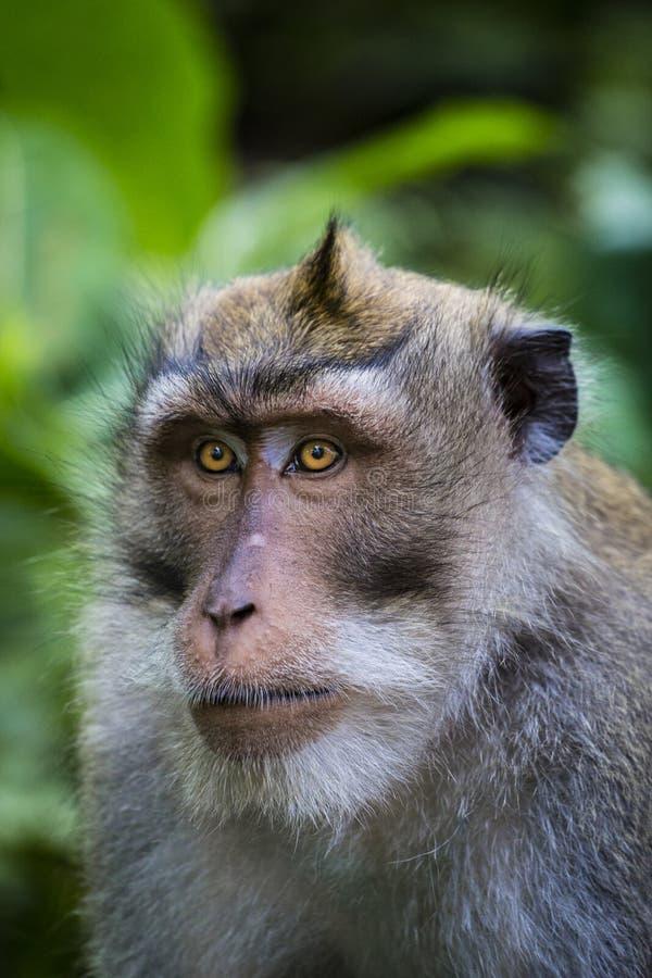 Balinesen lång-tailed apan på apatemplet, Ubud royaltyfri fotografi