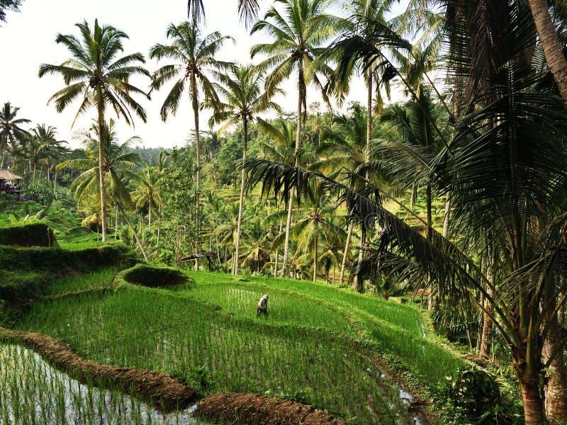 Balinessemens en rijstaanplanting stock foto's