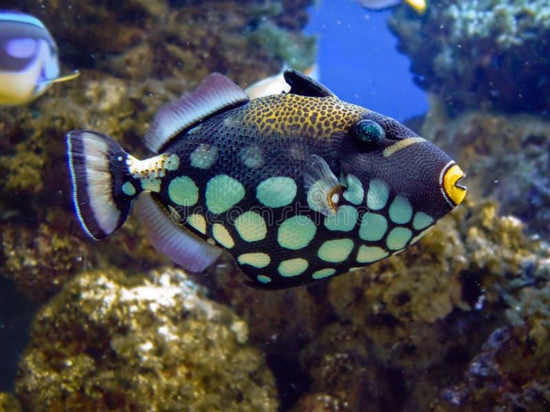 Balistidae fish closeup stock photography