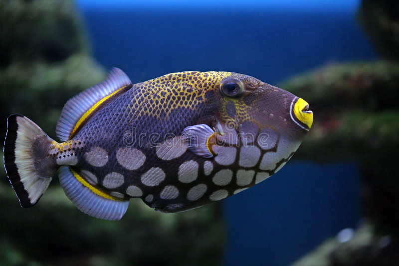 balistoides ψάρια conspilum τροπικά στοκ φωτογραφία με δικαίωμα ελεύθερης χρήσης