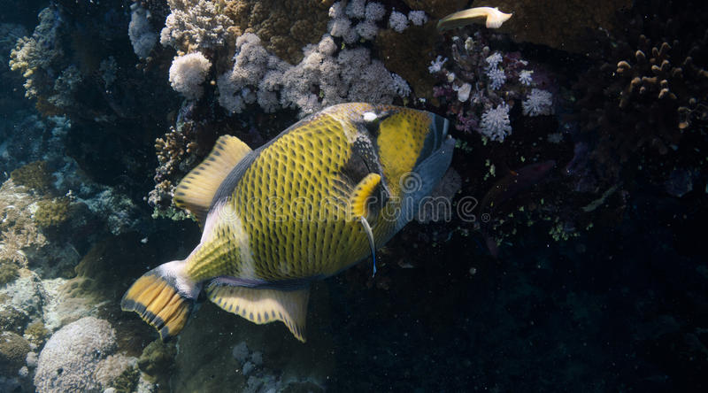 Balistoides viridescens. Or Titan triggerfish in the Red sea stock photos