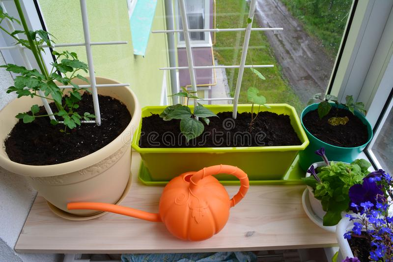 Balkon grünend Städtischer kleiner Garten mit Topfpflanzen und Leuchtorangegießkanne lizenzfreies stockbild