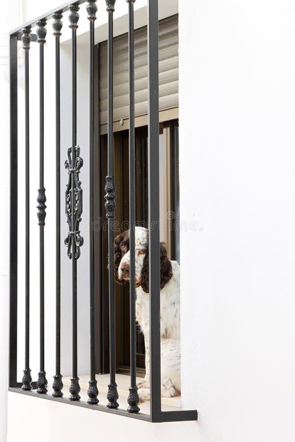 balkonghund som ser SAD spain zuheros arkivfoto
