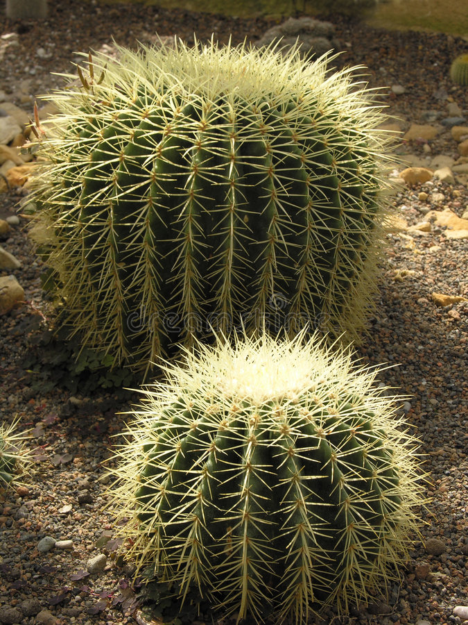 Download Ball cactuses stock photo. Image of gardening, ball, spike - 163294