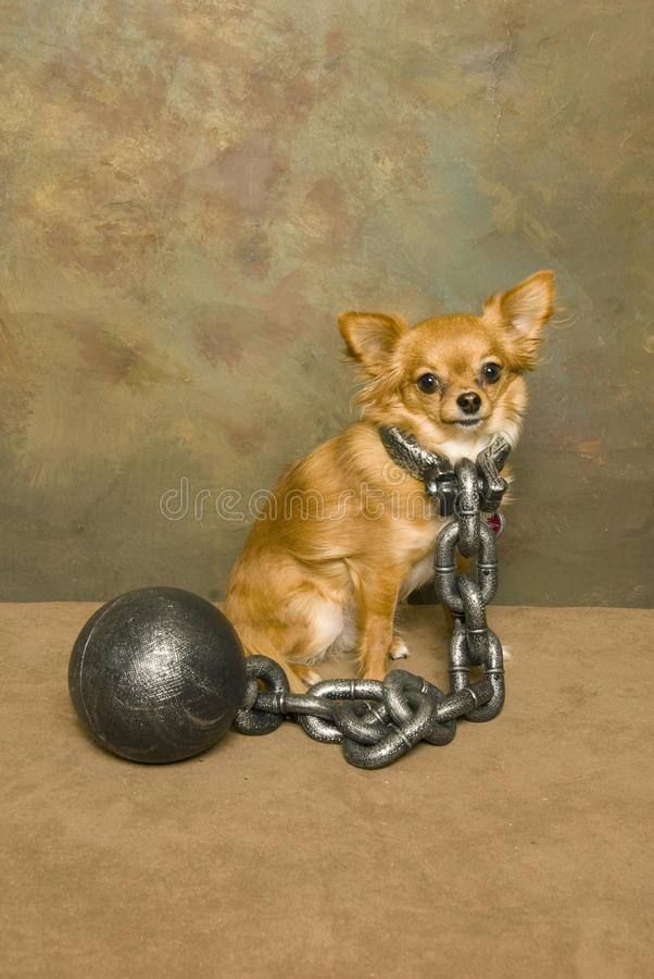 Ball and chained Chihuahua stock photos