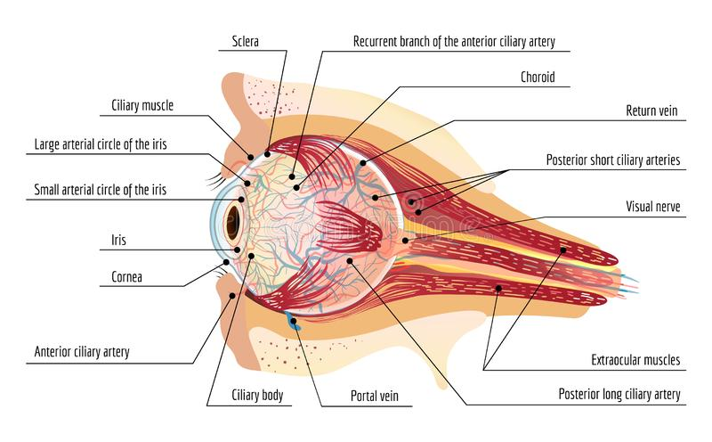 Ball des menschlichen Auges infographic, Karikaturart lizenzfreie abbildung