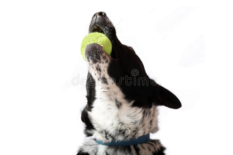 Ball Joy. A Dog Playing with his Ball stock photos
