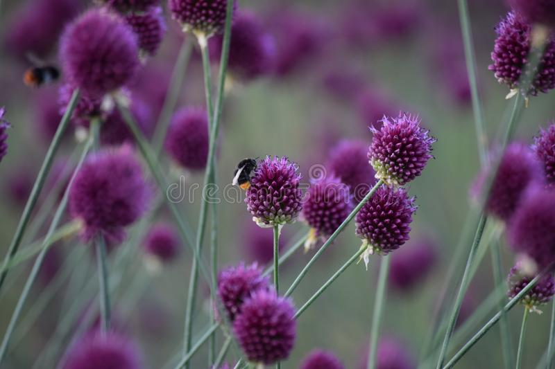 Ball leek with Bumblebees. Beautiful Ball leek with Bumblebees royalty free stock photo