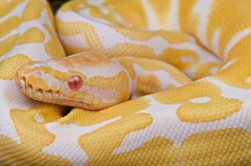 Download Ball python stock photo. Image of snake, predator, royal - 12284584