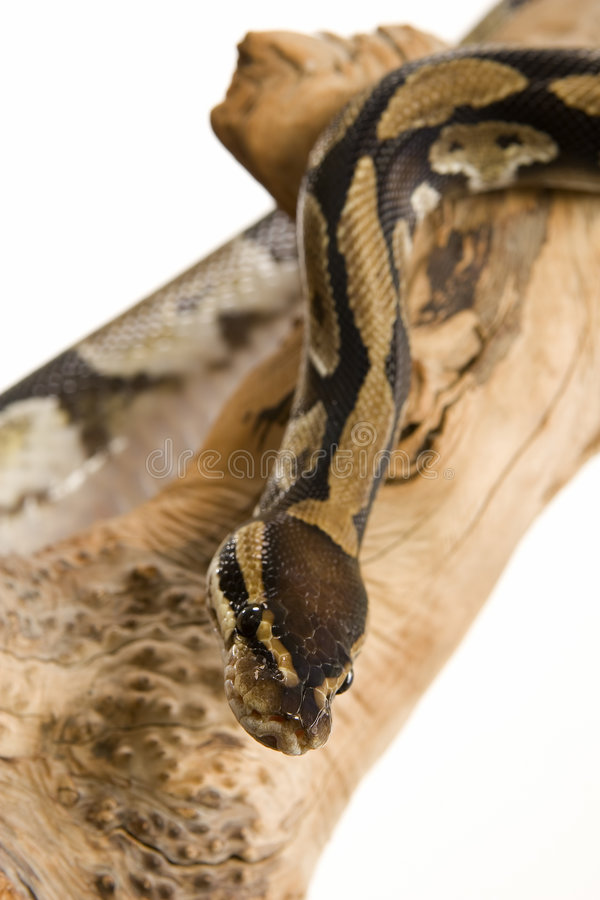 Download Ball Python stock photo. Image of scales, python, eyes - 3454368