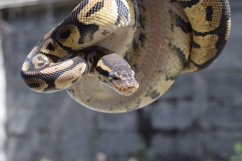 Ball python stock image