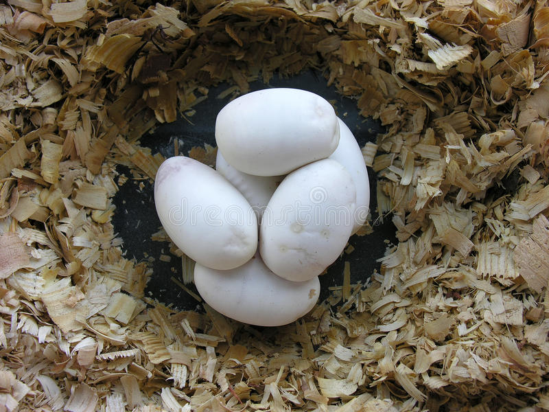 Ball python eggs royalty free stock images