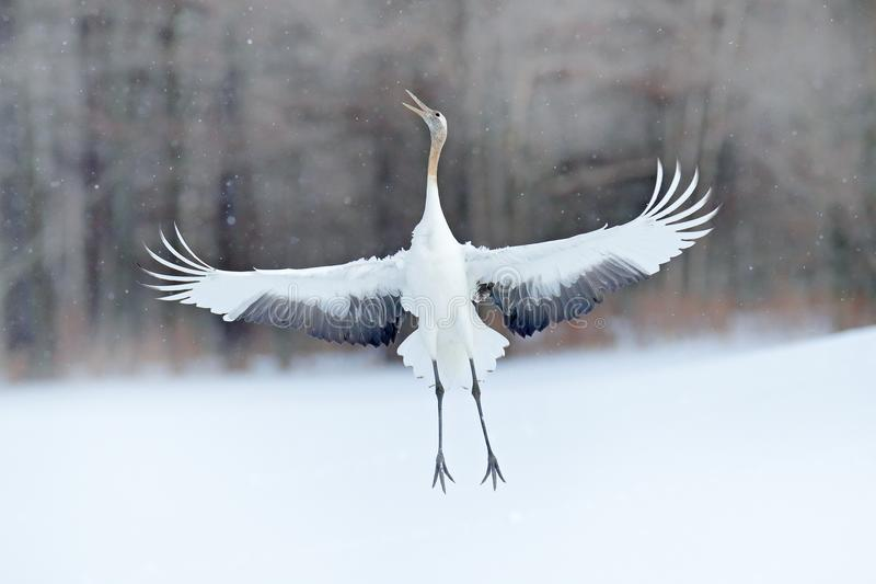 Ballando gru Rosso-incoronata con l'ala aperta in volo, con la tempesta della neve, l'Hokkaido, Giappone Uccello in mosca, scena  immagini stock