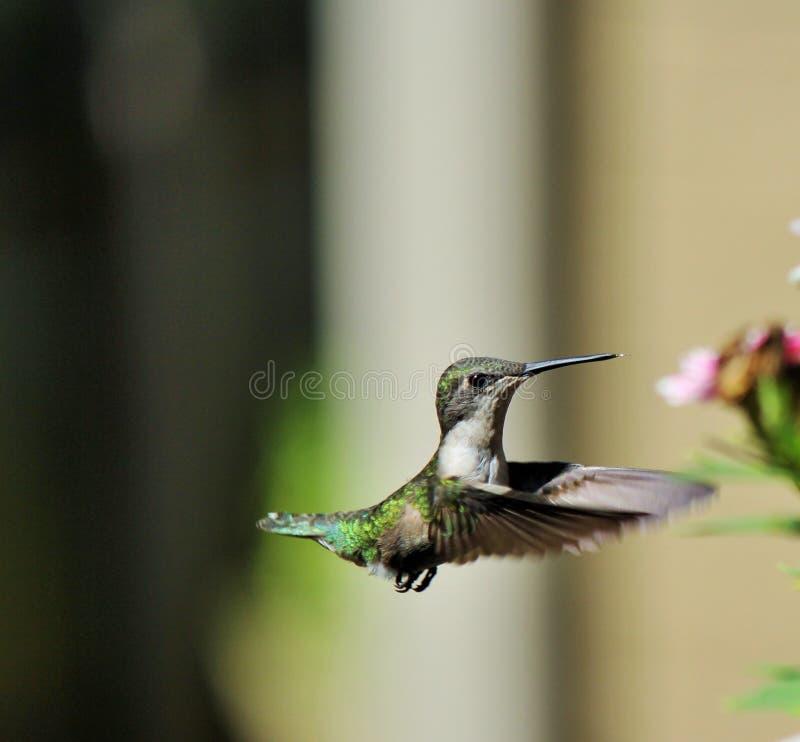 Ballando nella gioia! Fiore d'avvicinamento del colibrì