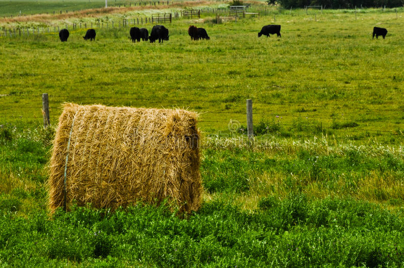 Balle de paille avec des vaches photo libre de droits