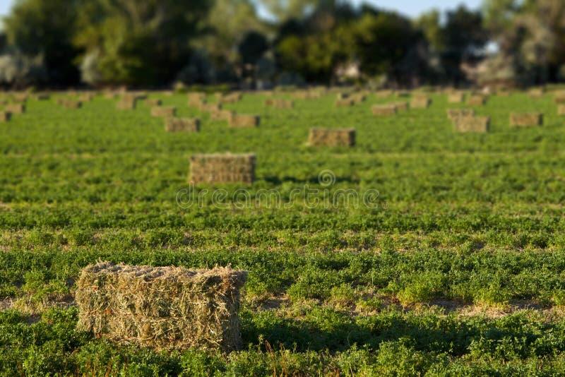 Balle di fieno dell'erba medica nel campo fotografia stock libera da diritti