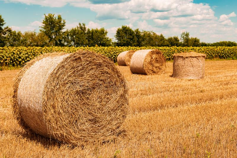 Balle di fieno rotonde del grano che si asciugano in stoppia del campo dopo il raccolto fotografia stock